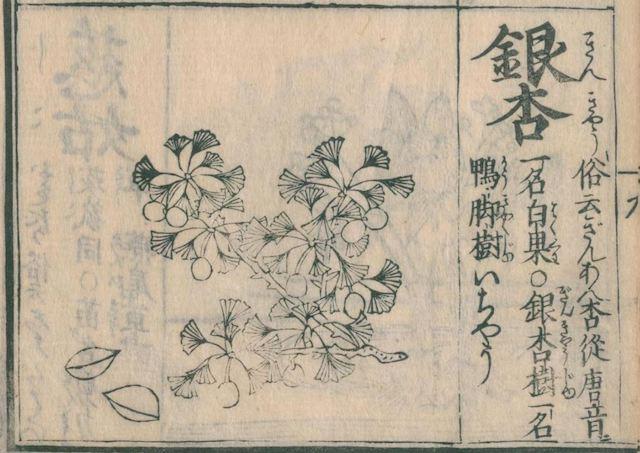 Ausschnitt eines Lesehefts aus der Edo-Zeit mit Abbildung und Erklärung zu Ginkgo biloba.